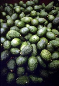 Hass Avocado01