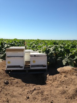 Bee Hives for pollination on the field