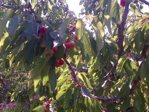 Chelan Cherry Tree