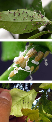 Asian Citrus Psyllid www.californiacitrusthreat.org