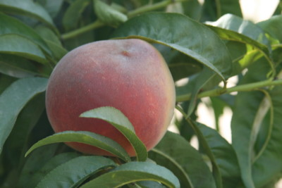 Free stone peach with a flat bottom