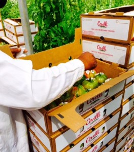 Heirlooms being packed in greenhouse