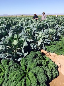 A field of Brussels sprouts is bordered by kale to keep the aphids away