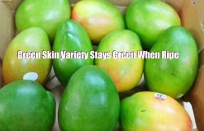 Keitt Mango Green Skin Variety Stays Green When Ripe