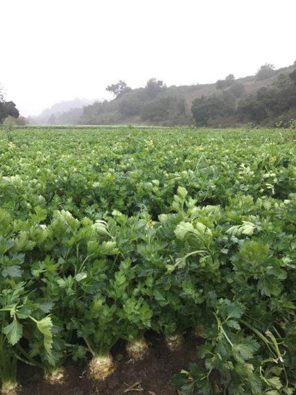 Celery Root Field
